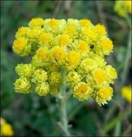 Бессмертник трава (цветки сухие)