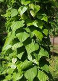 Диоскорея кавказская (корень, корневище)