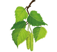 Березовые листья (сухие)