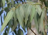 Эвкалипта прутовидного (листья)