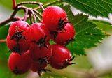 Боярышник (плоды, ягоды)
