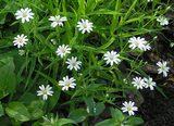 Звездчатка (мокрица трава)