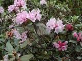 Cаган Дайля (Рододендрон Адамса, Саган-Дали), трава