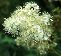 Таволга вязолистная (лабазник вязолистный), трава