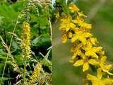 Репешок обыкновенный (репейник), трава