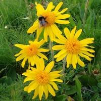 Арника горная (цветки)