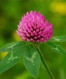 Красный клевер (цветки)