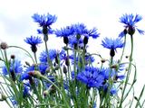 Василек (цветы)