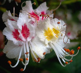 Каштан конский (цветки)